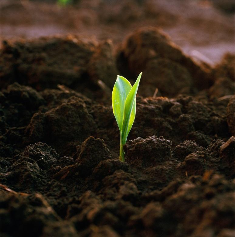 Corn Seedling Emerging from Soil
